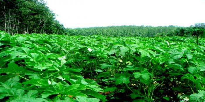 Insects and its managements in Okra cultivation.
