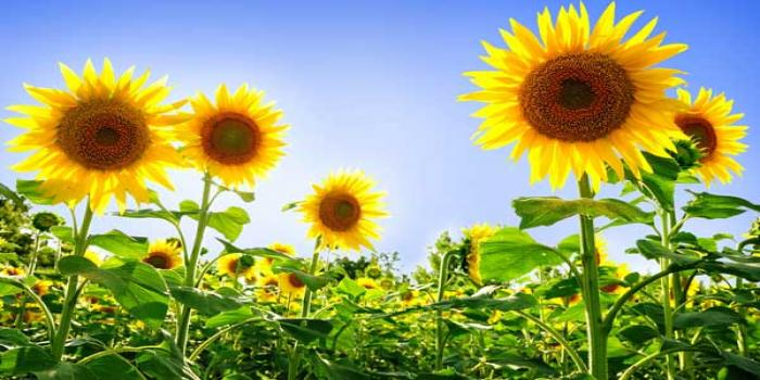 Commercial Crop of Choice for Drought Prone areas Sunflower