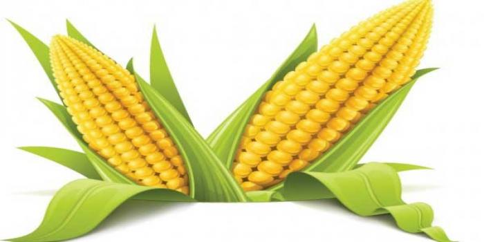 Maize agri care is maize indias new wonder crop voltagebd Image collections