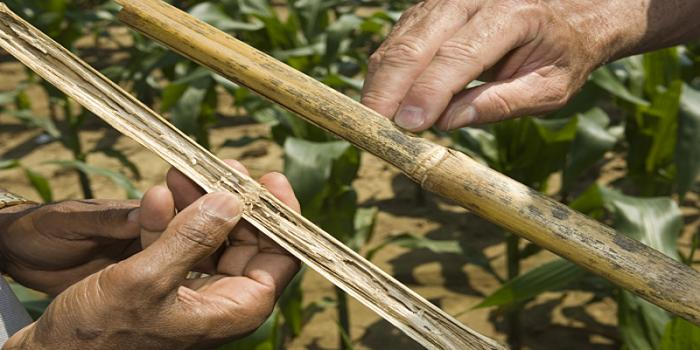 Post flowering stalk rot of maize and their management practices