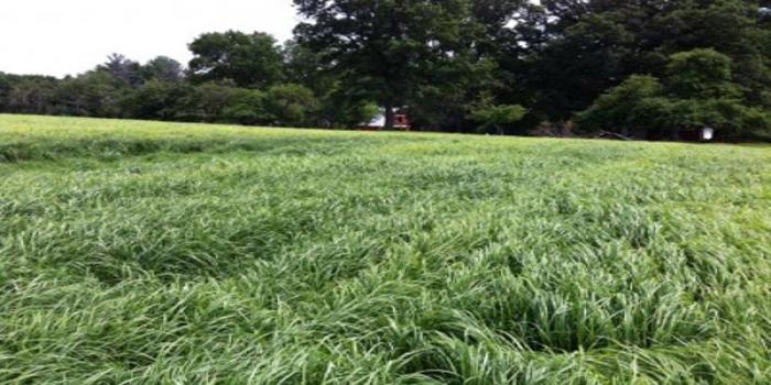 Teff grass is working in hay crop rotations
