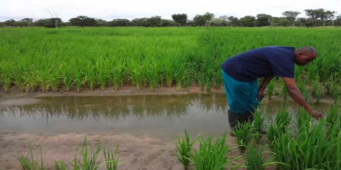 Paddy growers in distress as prices hit a low