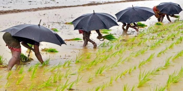 Rains rally crops in El Nino year, but relief seen short-lived
